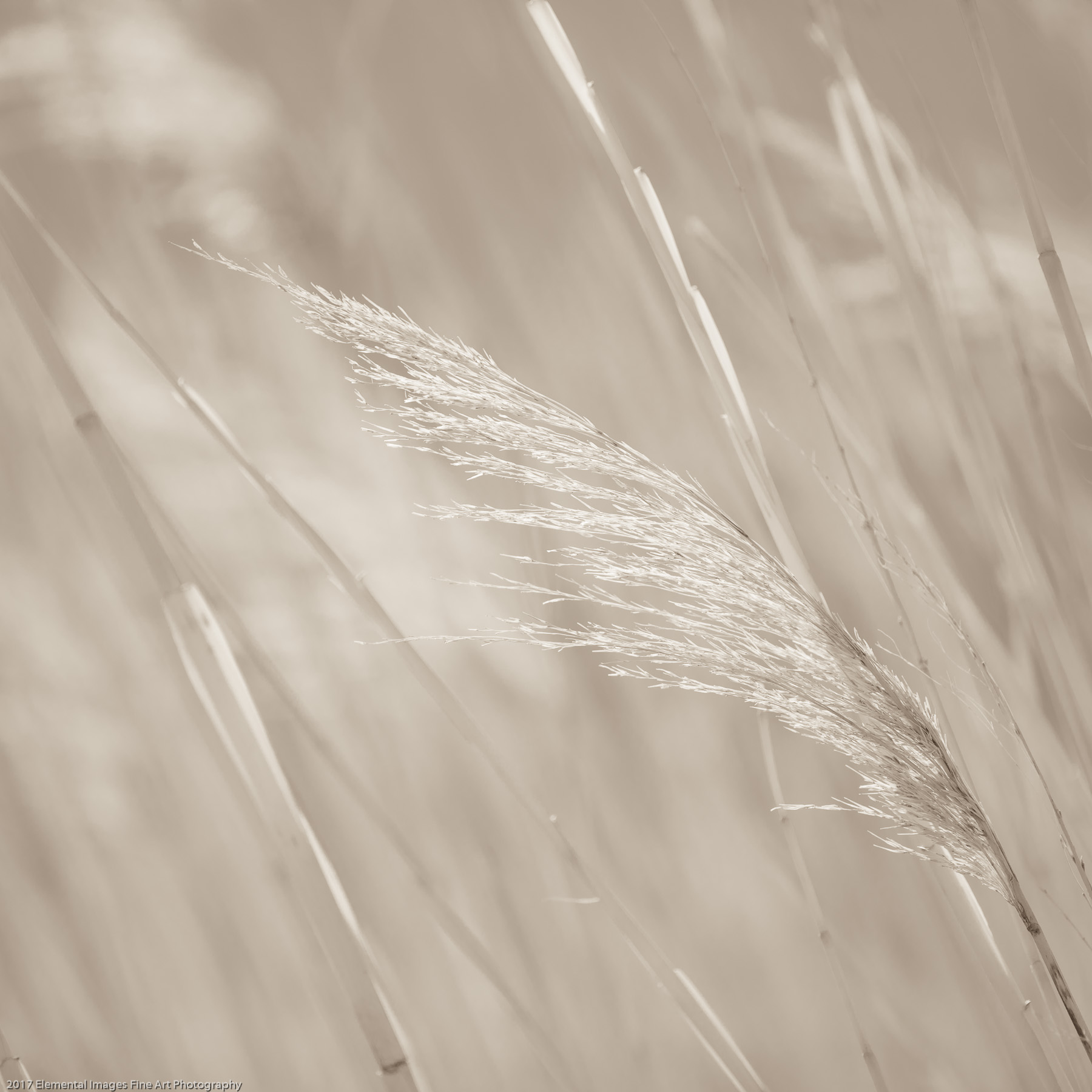 Grasses #148 | Summer Lake | OR | USA - © 2017 Elemental Images Fine Art Photography - All Rights Reserved Worldwide