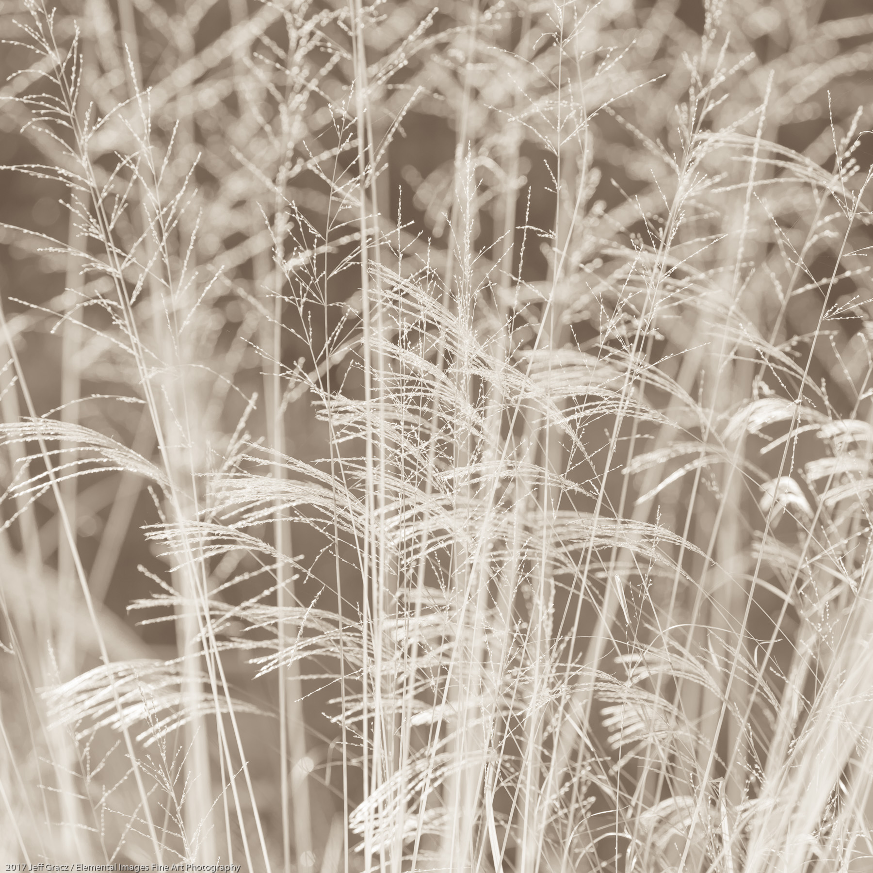 Grasses #151 | Silverton | OR | USA - © 2017 Jeff Gracz / Elemental Images Fine Art Photography - All Rights Reserved Worldwide