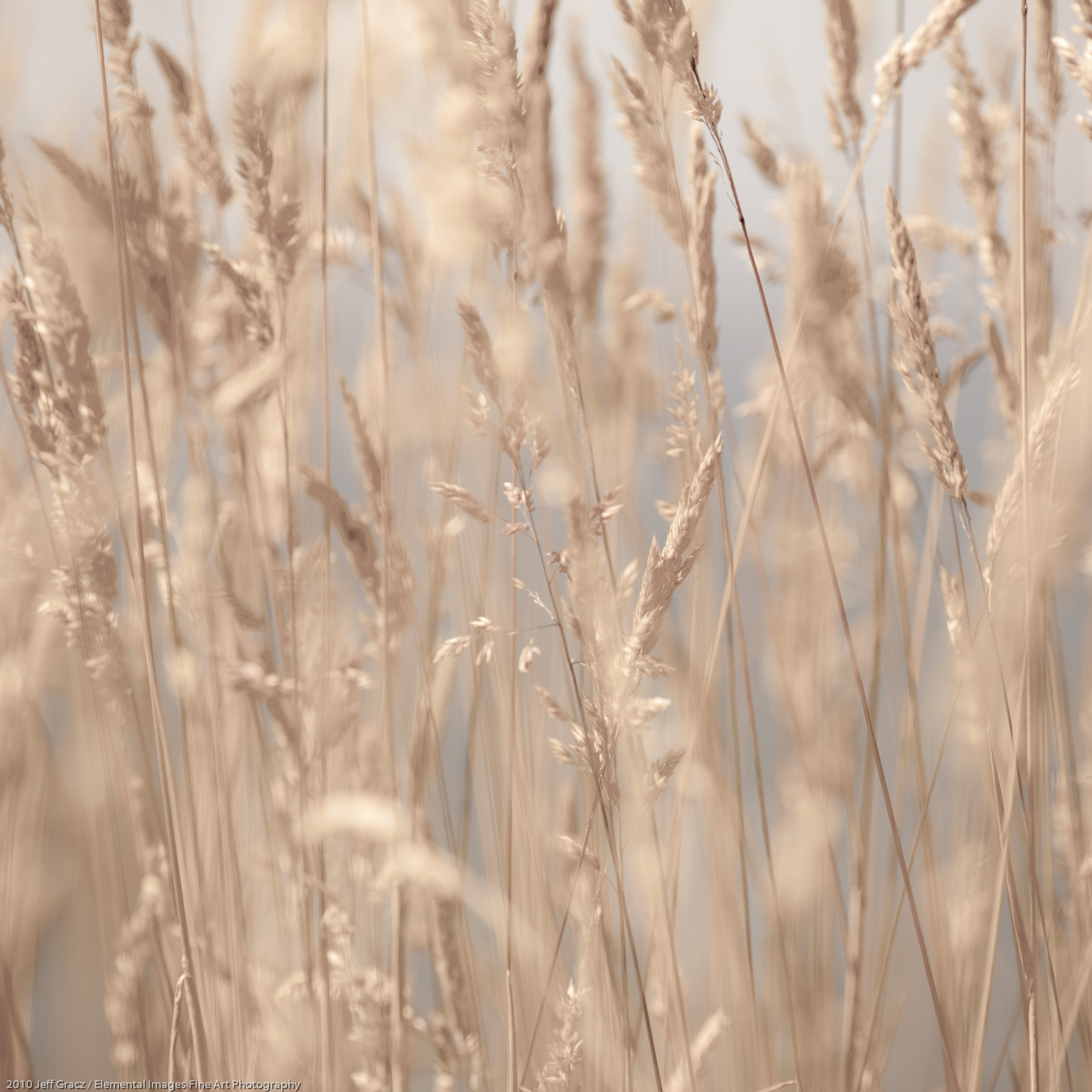 Grasses XXXIII |  |  |  - © 2010 Jeff Gracz / Elemental Images Fine Art Photography - All Rights Reserved Worldwide