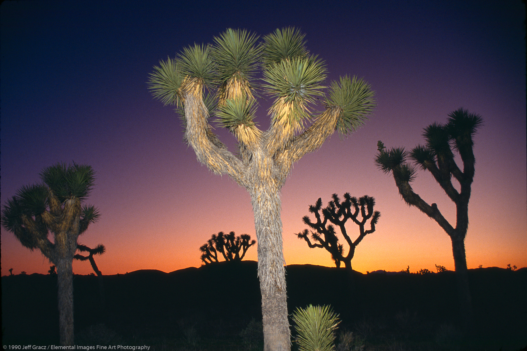 Flash lit Joshua tree at sunset | Joshua Tree National Monument | CA | USA - © © 1990 Jeff Gracz / Elemental Images Fine Art Photography - All Rights Reserved Worldwide