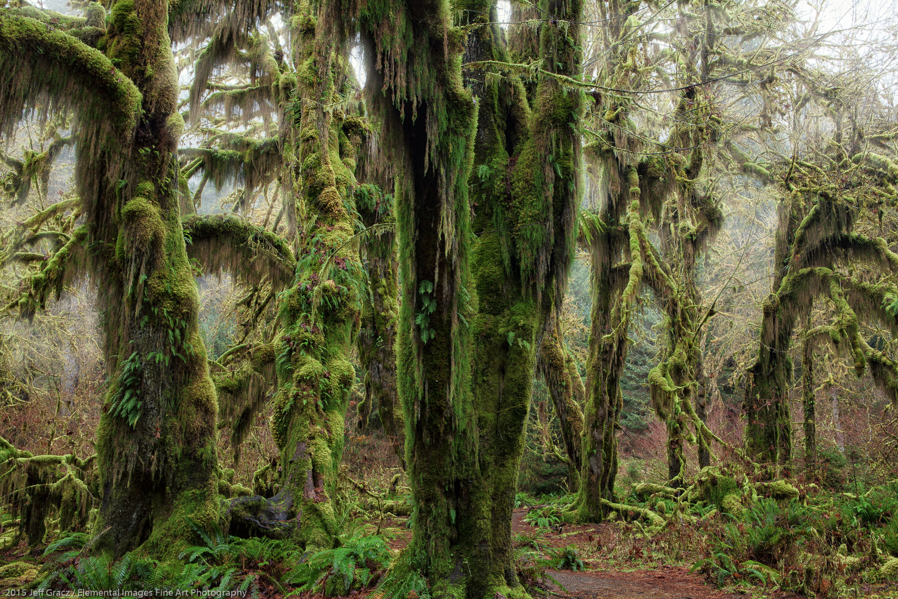 Hall of Mosses | Olympic National Park | WA | USA - © 2015 Jeff Gracz / Elemental Images Fine Art Photography - All Rights Reserved Worldwide