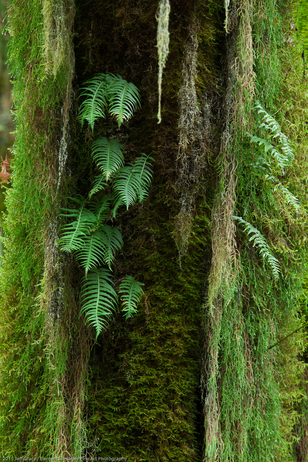 Licorice Ferns | Olympic National Park | WA | USA - © 2015 Jeff Gracz / Elemental Images Fine Art Photography - All Rights Reserved Worldwide