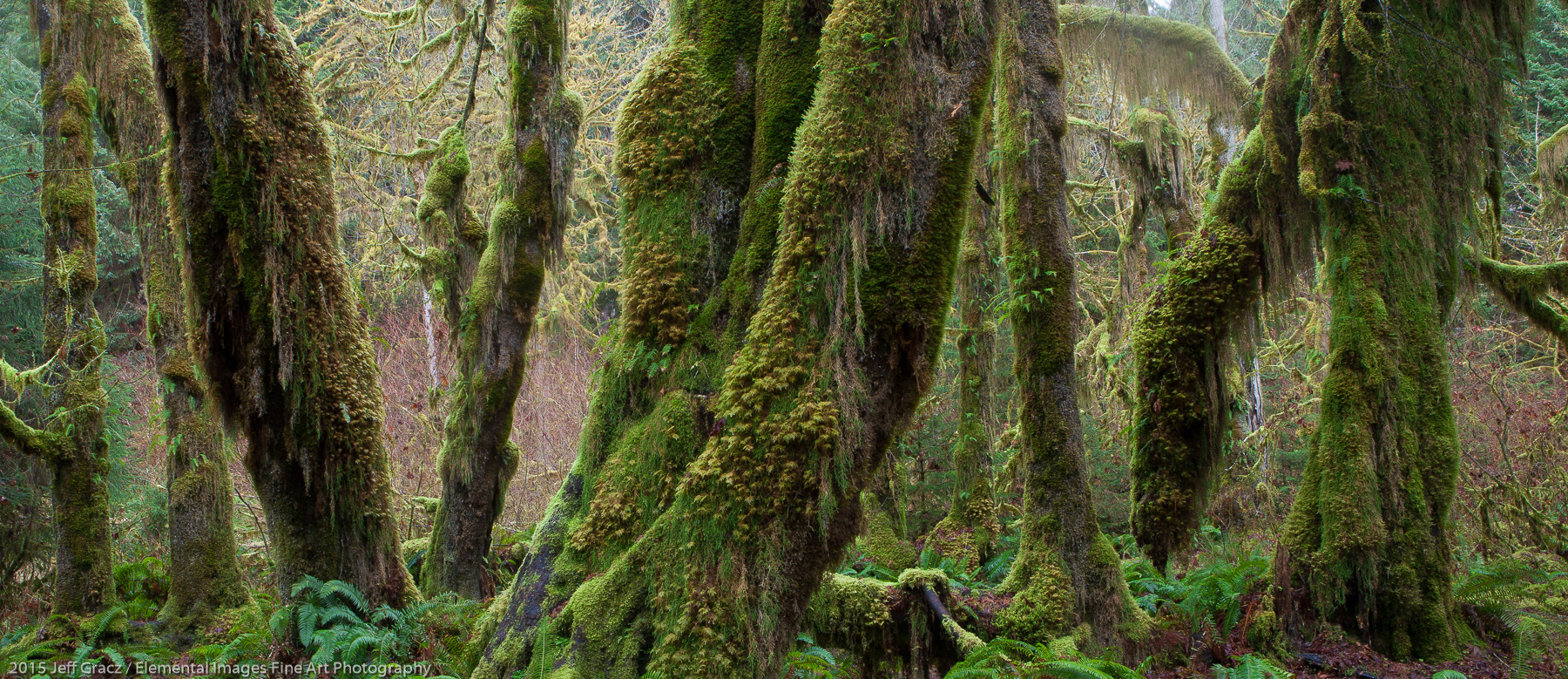 Hall of Mosses II | Olympic National Park | WA | USA - © 2015 Jeff Gracz / Elemental Images Fine Art Photography - All Rights Reserved Worldwide