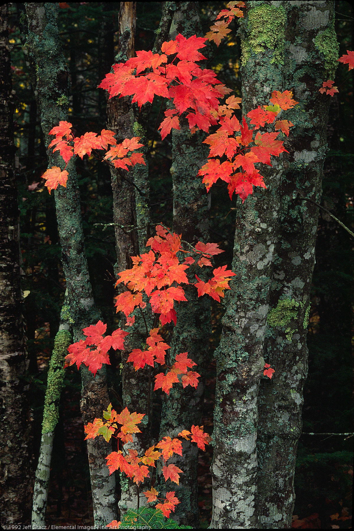 Maple tree trunks with fall foliage | Acadia National Park | ME | USA - © © 1992 Jeff Gracz / Elemental Images Fine Art Photography - All Rights Reserved Worldwide