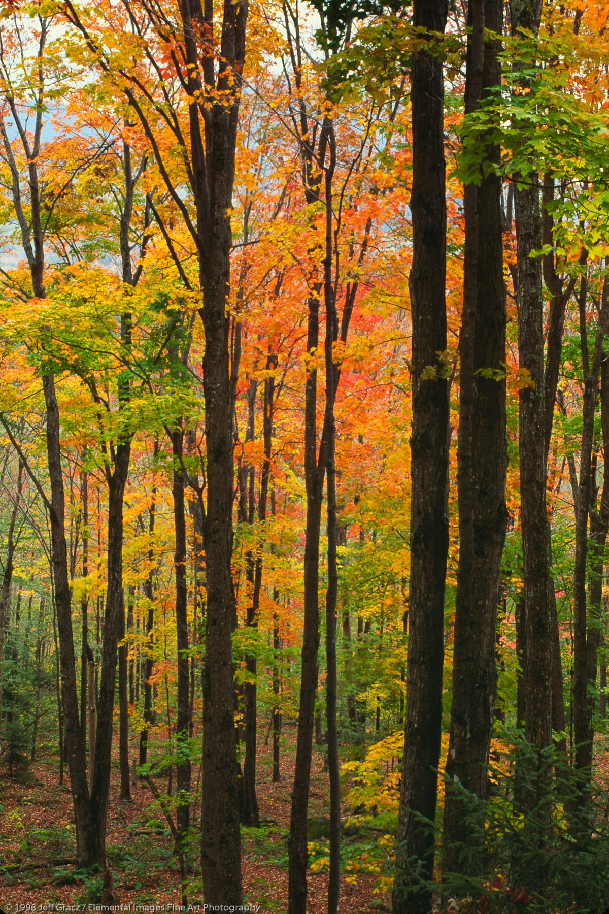 autumn foliage, tree trunks, near john's brook   adirondack state park   NY   usa - © © 1993 Jeff Gracz / Elemental Images Fine Art Photography - All Rights Reserved Worldwide