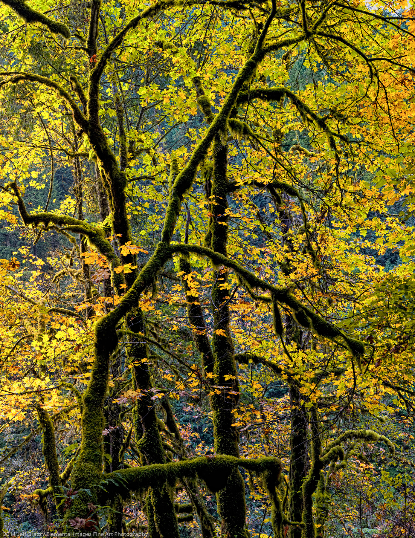 Eagel Creek Maples | Columbia River Gorge National Scenic Area | OR | USA - © 2011 Jeff Gracz / Elemental Images Fine Art Photography - All Rights Reserved Worldwide