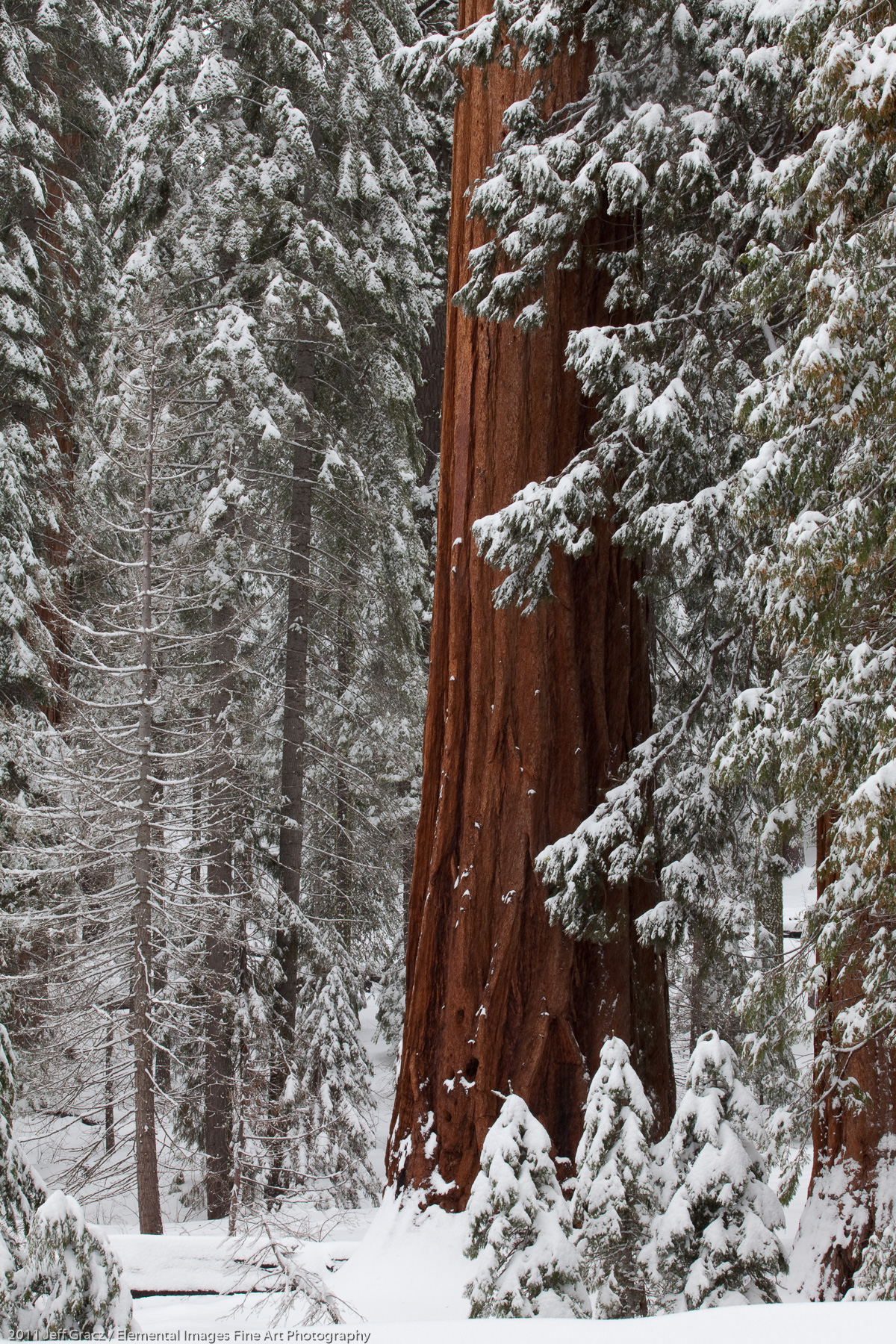 Sequoia Forest in Winter | Yosemite National Park | CA | USA - © 2011 Jeff Gracz / Elemental Images Fine Art Photography - All Rights Reserved Worldwide