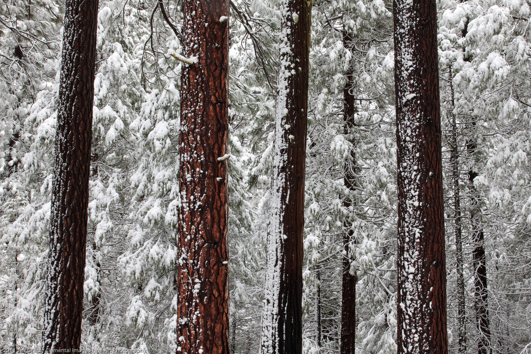 Winter Trees in Yosemite | Yosemite National Park | CA | USA - © 2011 Jeff Gracz / Elemental Images Fine Art Photography - All Rights Reserved Worldwide
