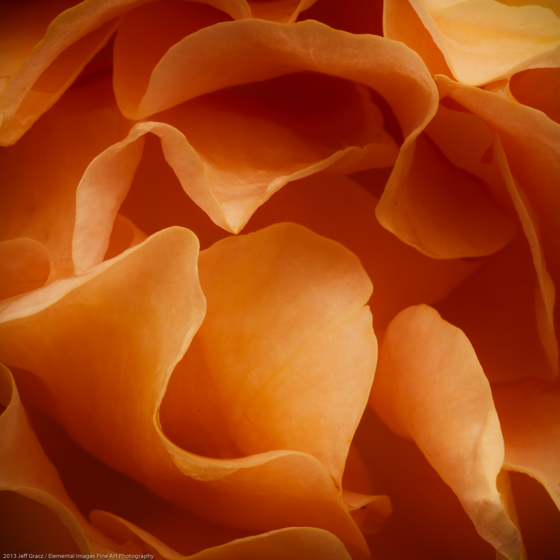 Roses XLiX   Portland   OR   USA - © 2013 Jeff Gracz / Elemental Images Fine Art Photography - All Rights Reserved Worldwide