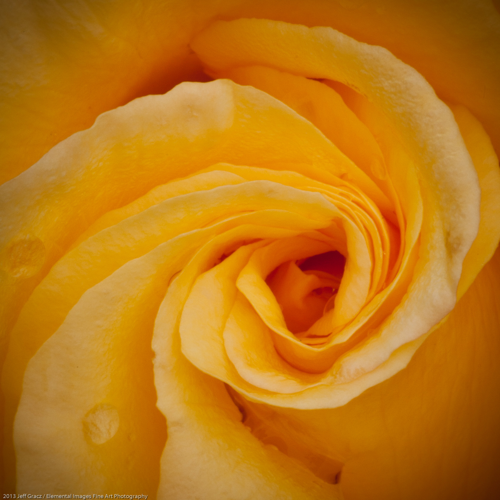 Roses LII | Portland | OR | USA - © 2013 Jeff Gracz / Elemental Images Fine Art Photography - All Rights Reserved Worldwide