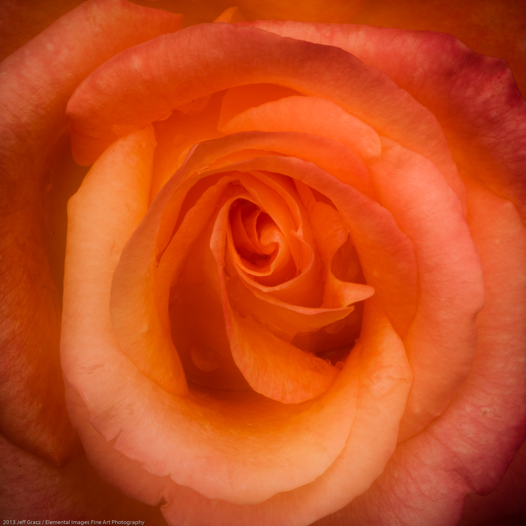 Roses LIII | Portland | OR | USA - © 2013 Jeff Gracz / Elemental Images Fine Art Photography - All Rights Reserved Worldwide