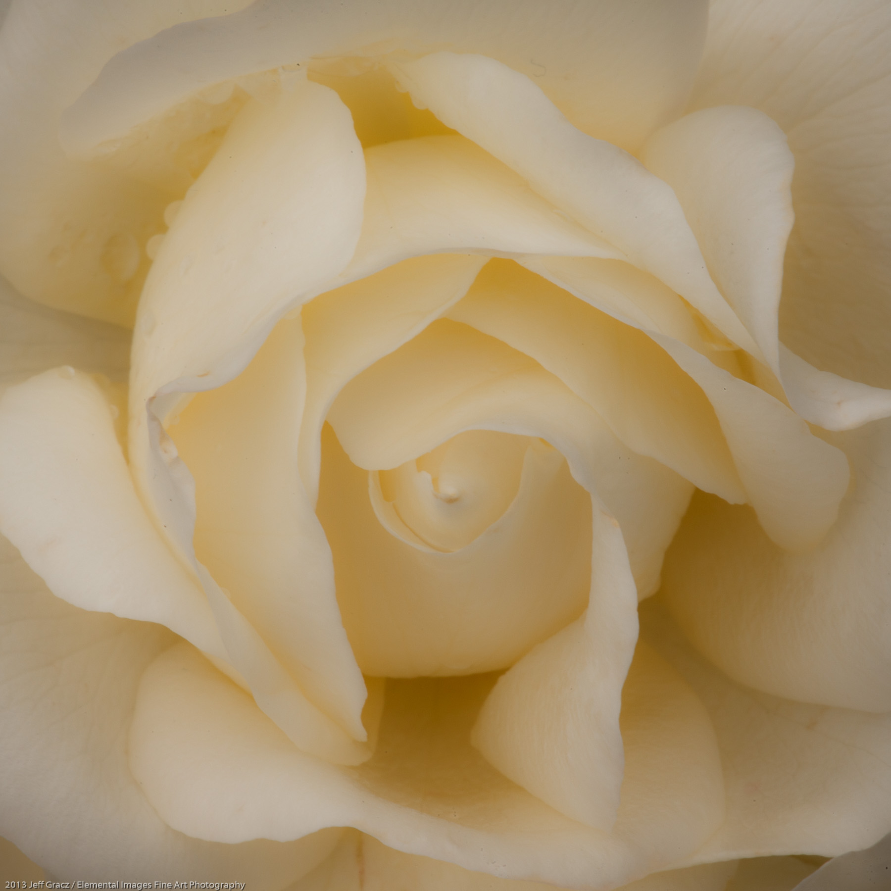 Roses LIV | Portland | OR | USA - © 2013 Jeff Gracz / Elemental Images Fine Art Photography - All Rights Reserved Worldwide