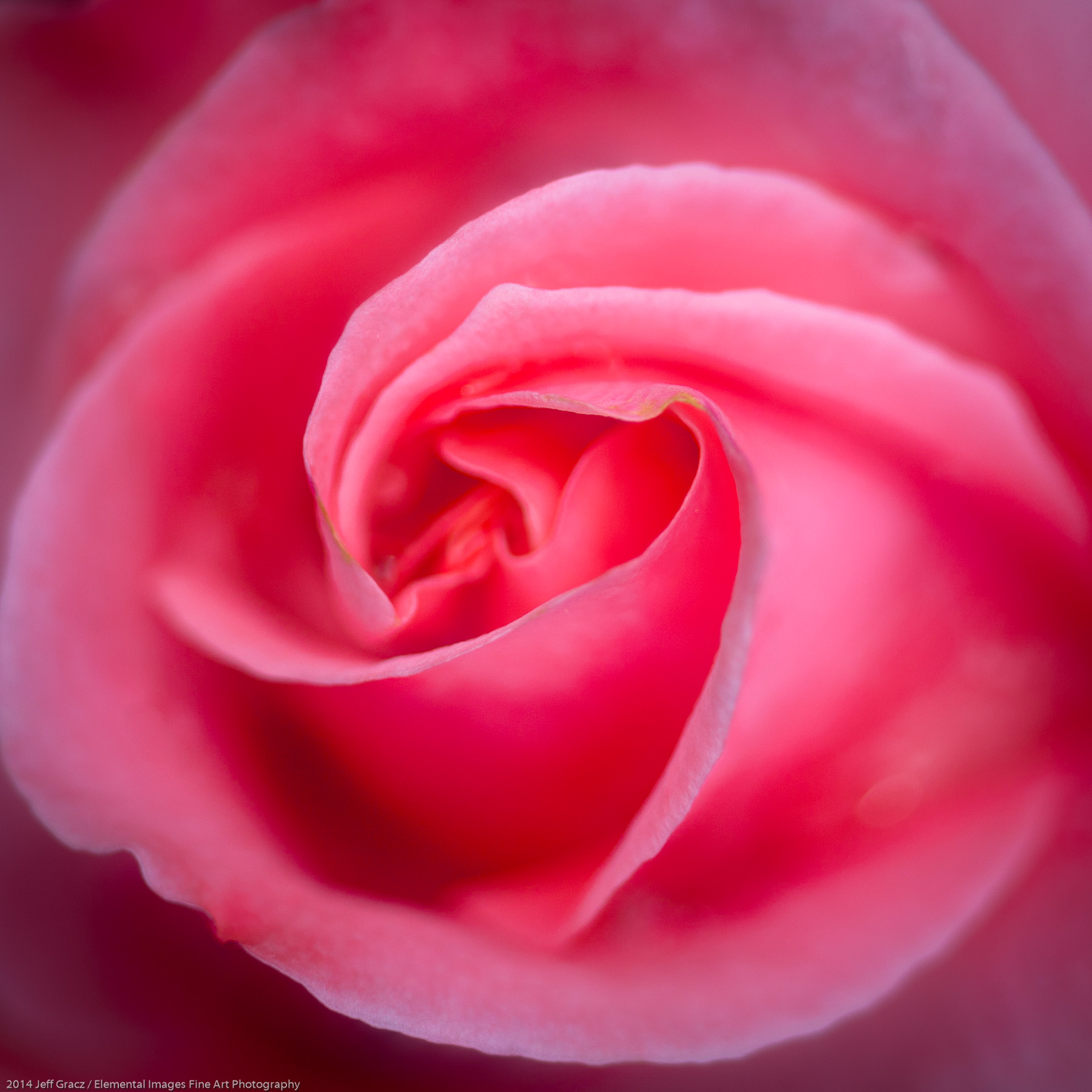 Roses LVI | Portland | OR | USA - © 2014 Jeff Gracz / Elemental Images Fine Art Photography - All Rights Reserved Worldwide