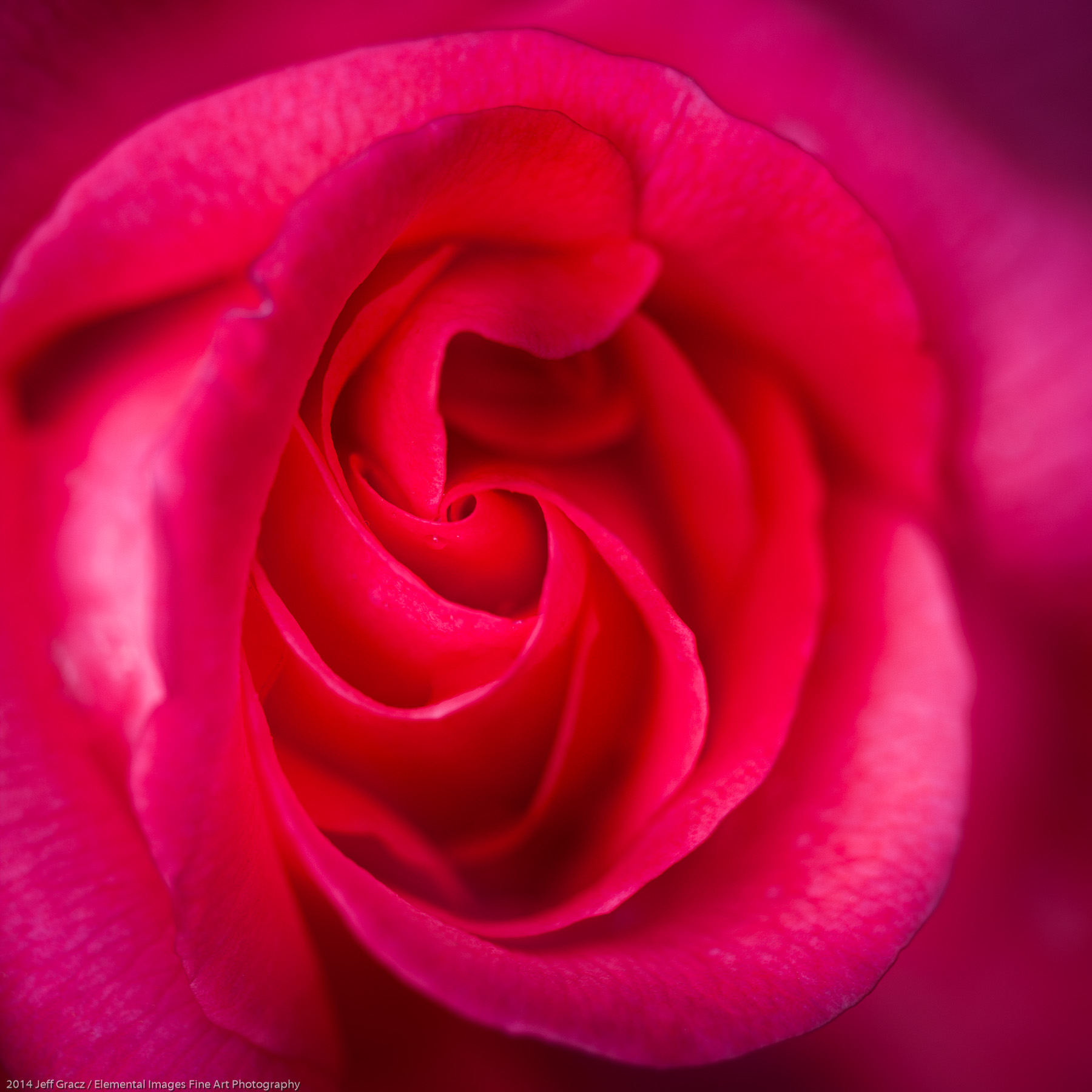 Roses LVII   Portland   OR   USA - © 2014 Jeff Gracz / Elemental Images Fine Art Photography - All Rights Reserved Worldwide